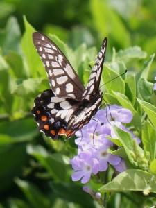 Swallowtail butterfly feeding on purple flowers