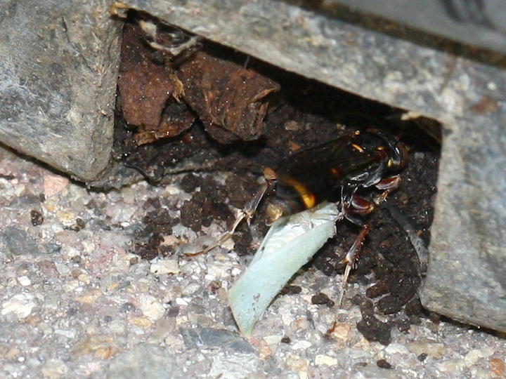 Wasp trying to tunnel into the pot with a leaf-hopper between her back legs.