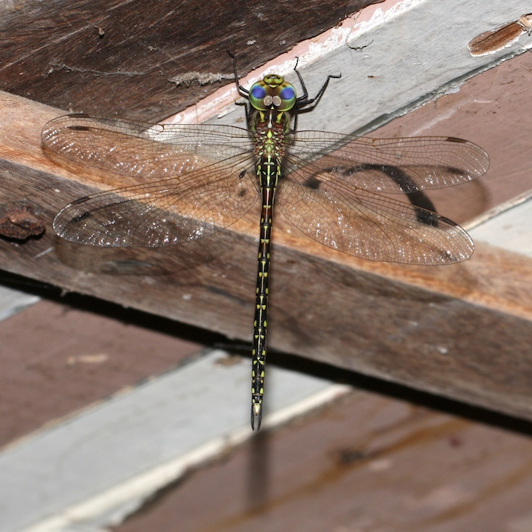 Black and green dragonfly, family Telephlebiidae