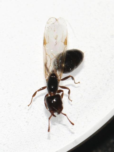 Black ant, winged