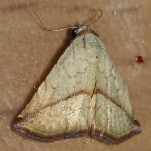 Fawn moth on desktop