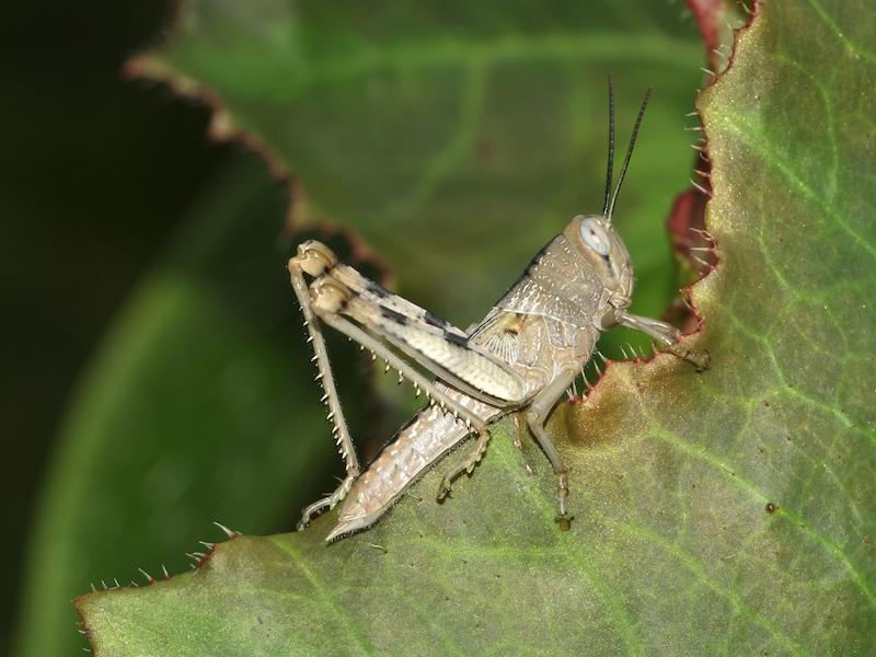 Giant grasshopper nymph (Valanga irregularis)