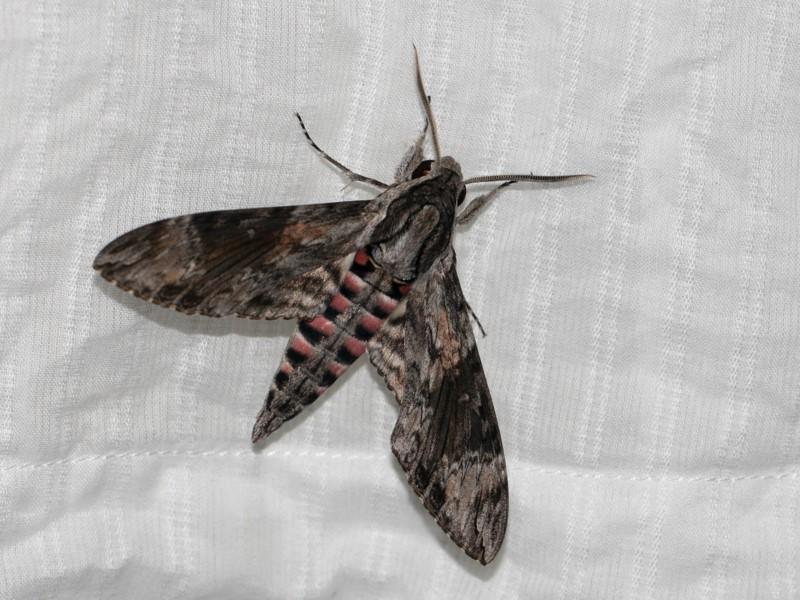 Convolvulus hawkmoth, Agrius convolvuli