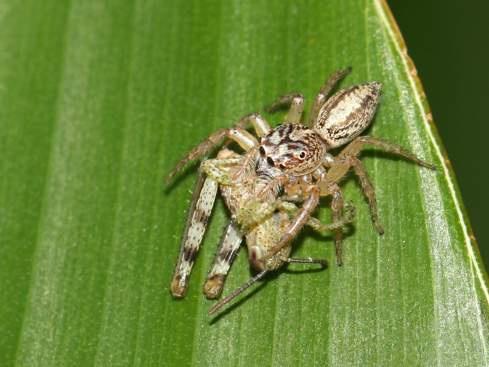 Jumping spider and grasshopper