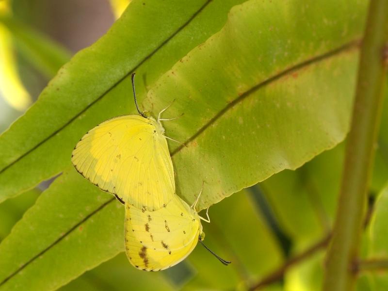 small yellow Eurema butterflies mating