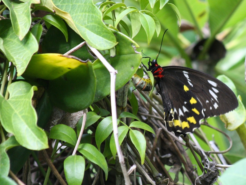 Cairns Birdwing butterfly, Ornithoptera priamus euphorion, laying an egg on Aristolochia vine