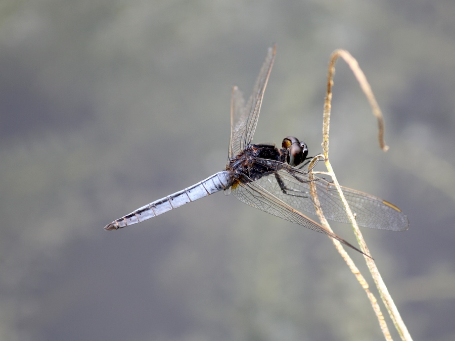 Blue-bodied dragonfly, Black-headed Skimmer, Crocothemis nigrifrons