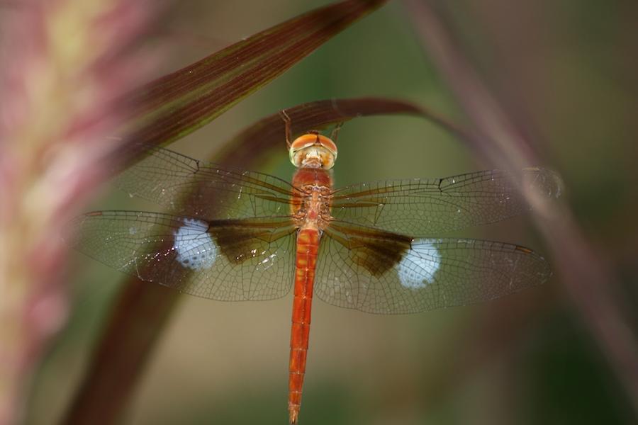 Orange dragonfly Tholymis tillarga or Twister