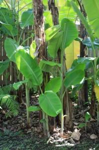 Banana suckers growing around mature trunks