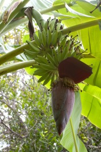 Banana bunch and flower