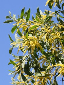 golden wattle blossom and foliage