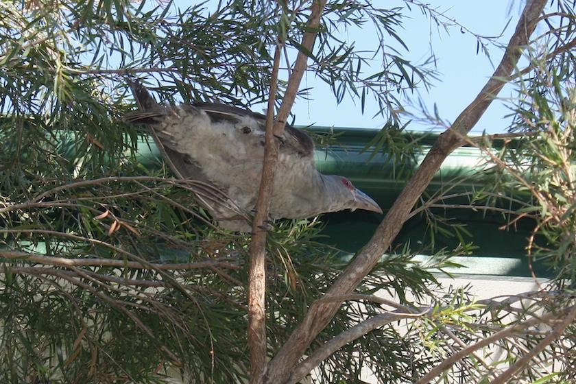 cuckoo in tree