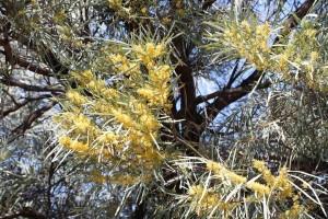 Yellow acacia flowers