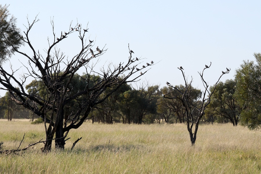 A flock of Crested Pigeons in dead trees