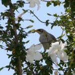 Yellow-throated Miner, Manorina flavigula, on hibiscus