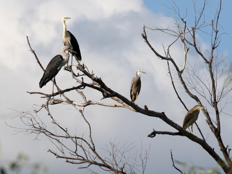 Herons perched on dead branch