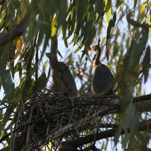 Chicks in nest