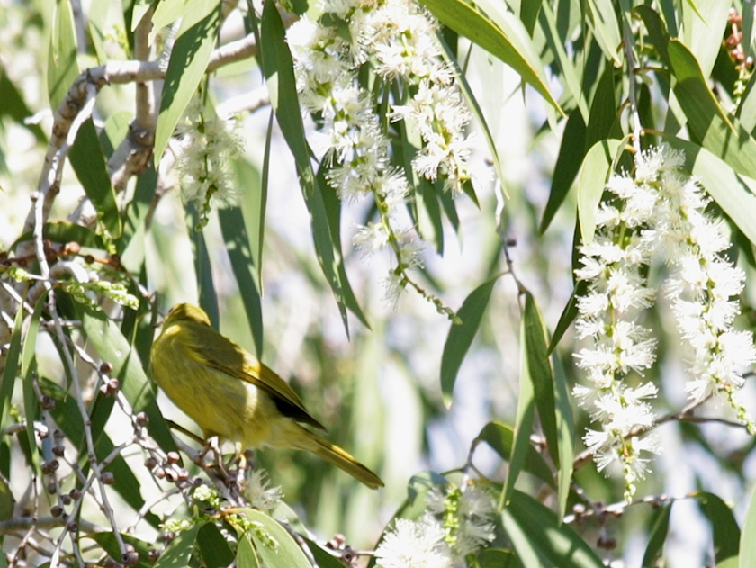 Yellow honeyeater feeding on paperbark blossom