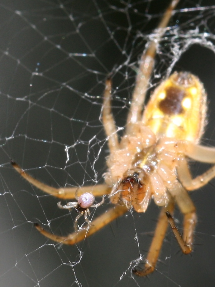 Orb-weaver and tiny spider in web
