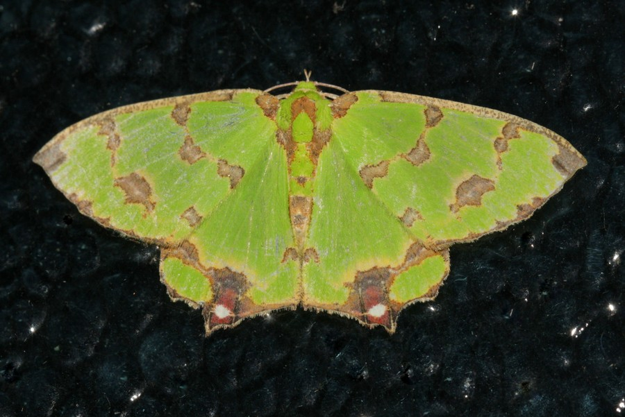 Green moth with brown markings