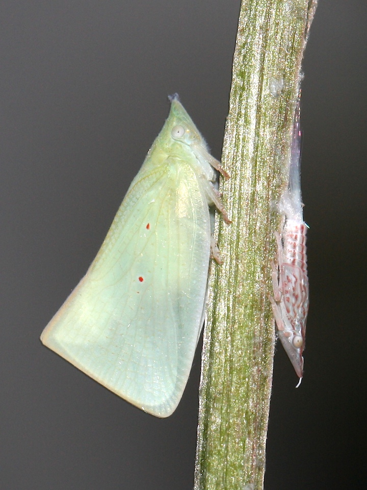 Hopper adult and nymph
