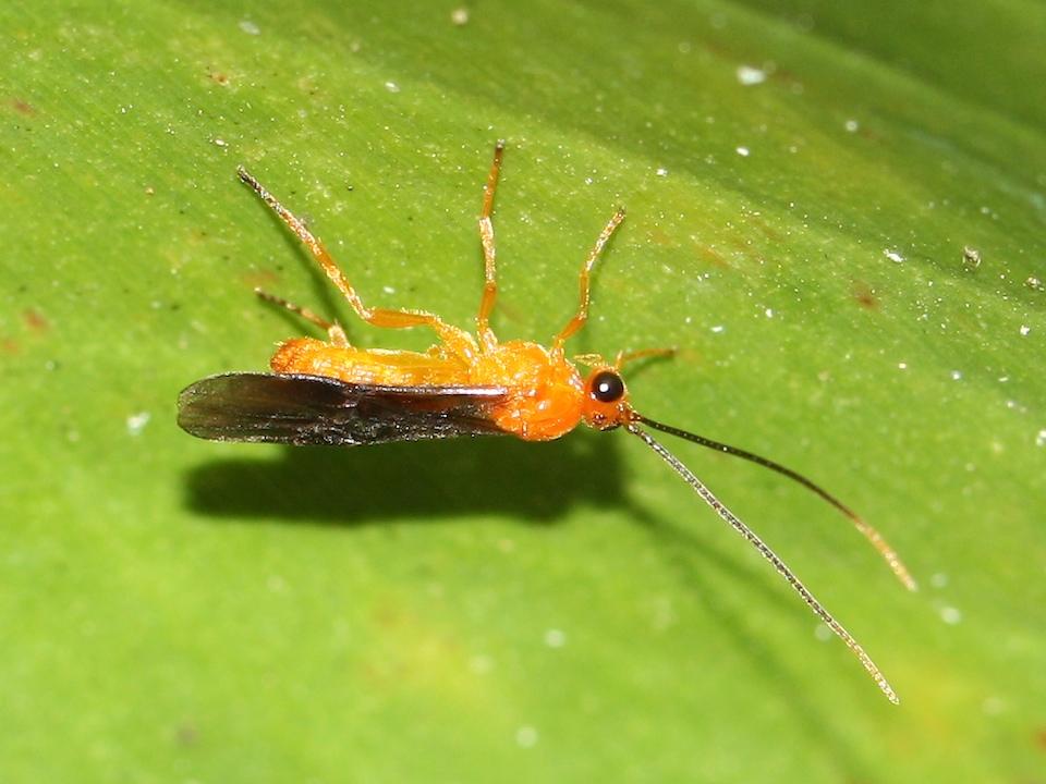 Orange wasp with dark wings hanging under leaf.