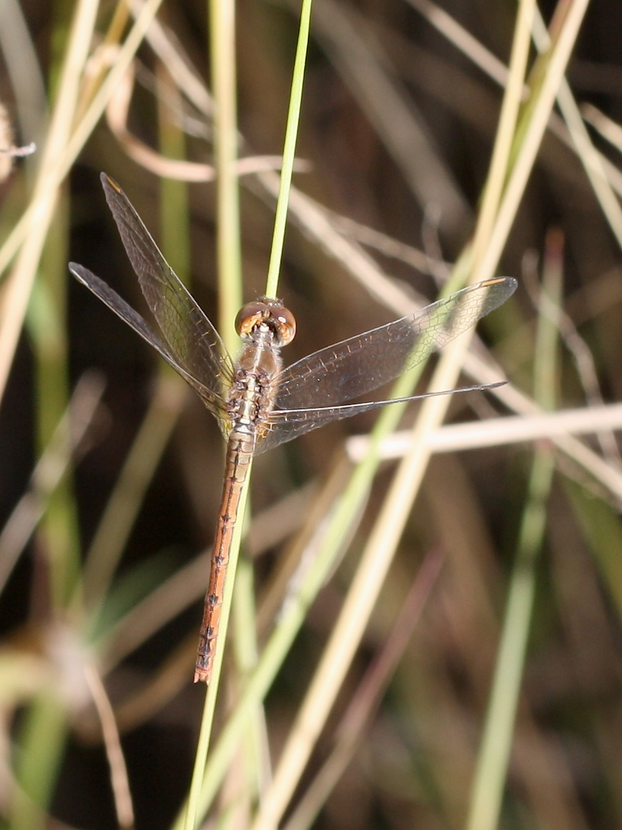 Dragonfly resting in long grass