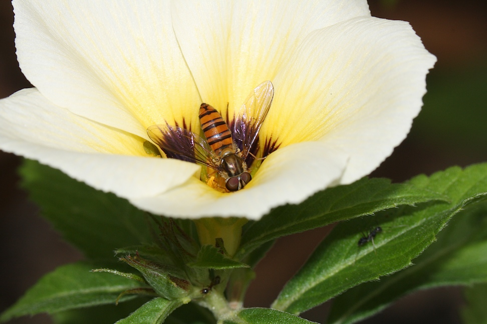 Hover-fly on cream flower