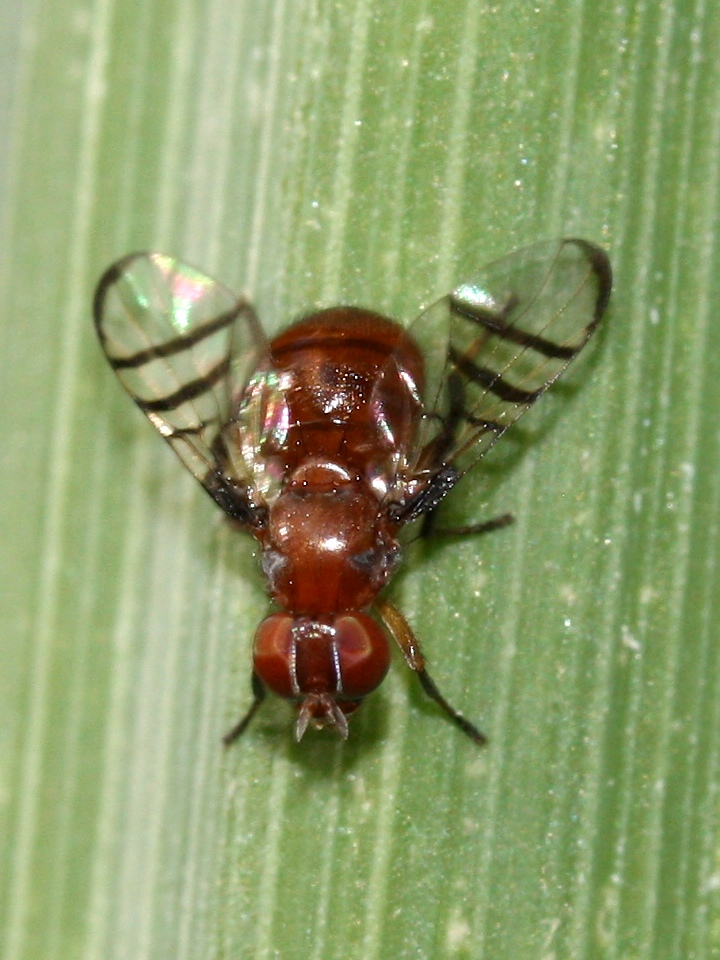 fat red fly with barred wings