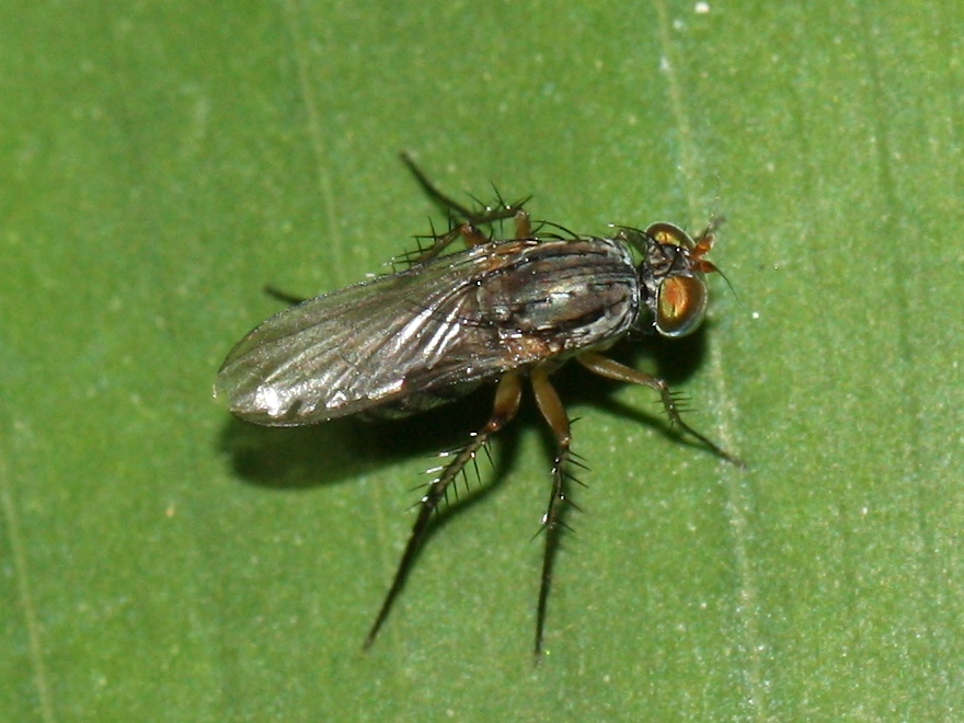 Long-legged grey fly