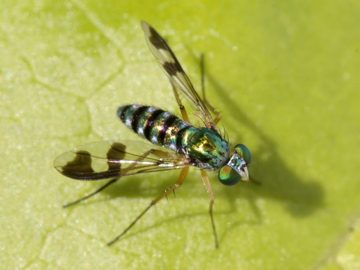 metallic green fly with black-banded wings and abdomen