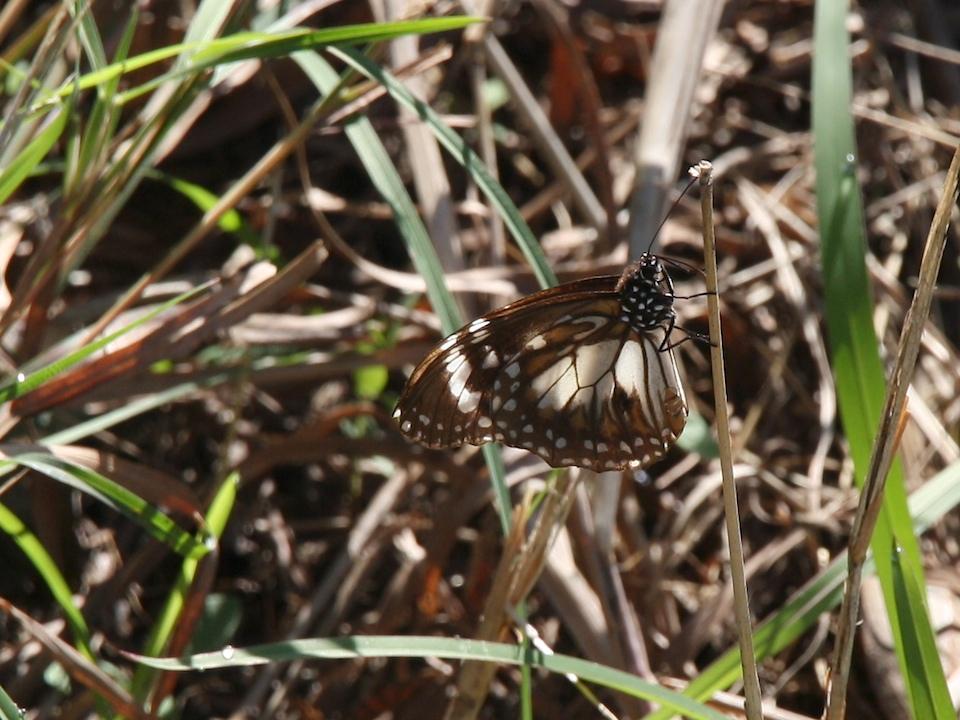 Marsh Tiger, Danaus affinis, camouflaged in long grass