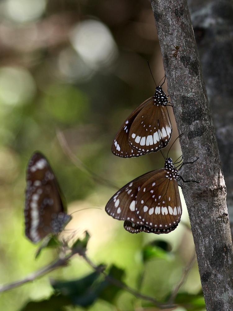 Two dark butterflies on a treetrunk