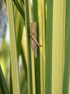 Giant grasshopper on variegated leaves