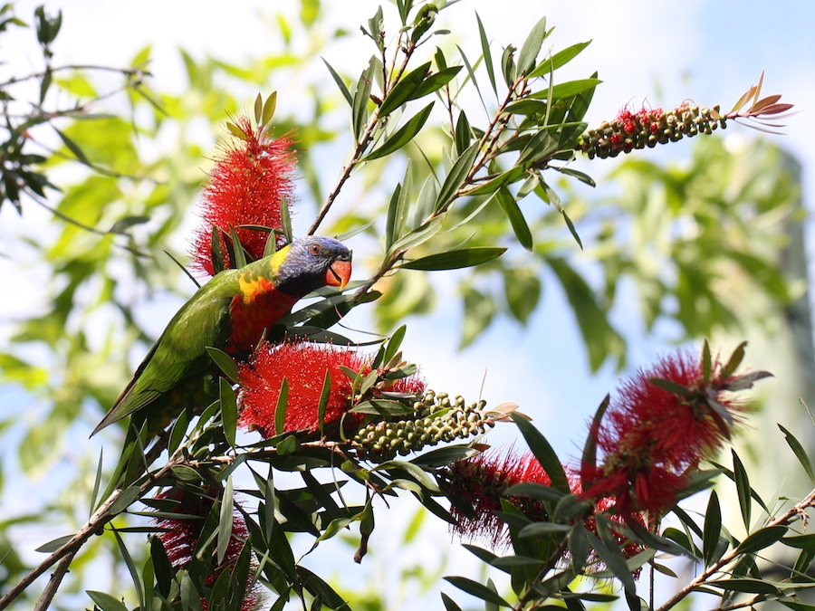 Lorikeet amongst bottlebrush flowers
