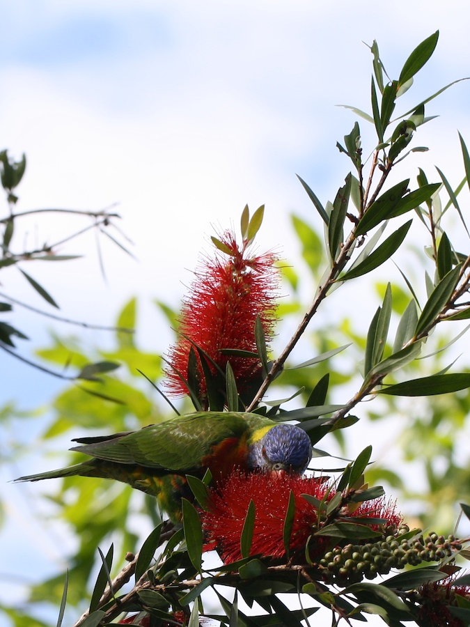 Lorikeet feeding on bottlebrush