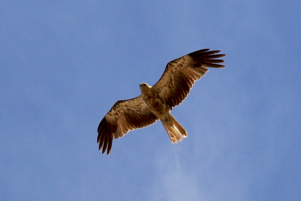 brown hawk soaring overhead