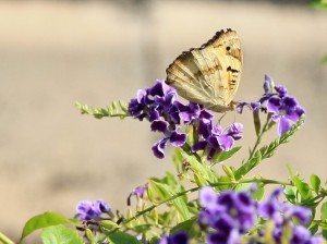 brown butterfly on purple flowers