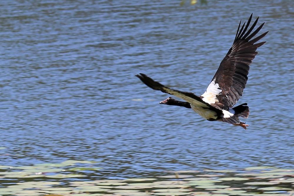 Magpie goose in flight