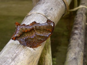 brown butterfly on bamboo pole