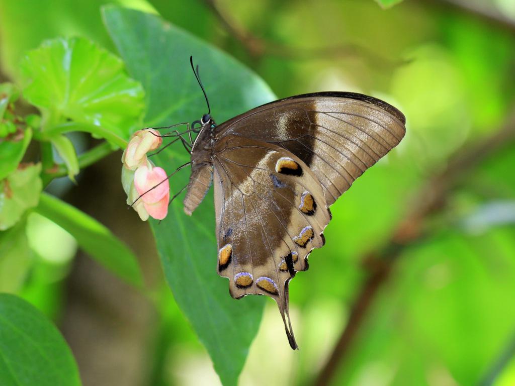 Ulysses butterfly perching on flower