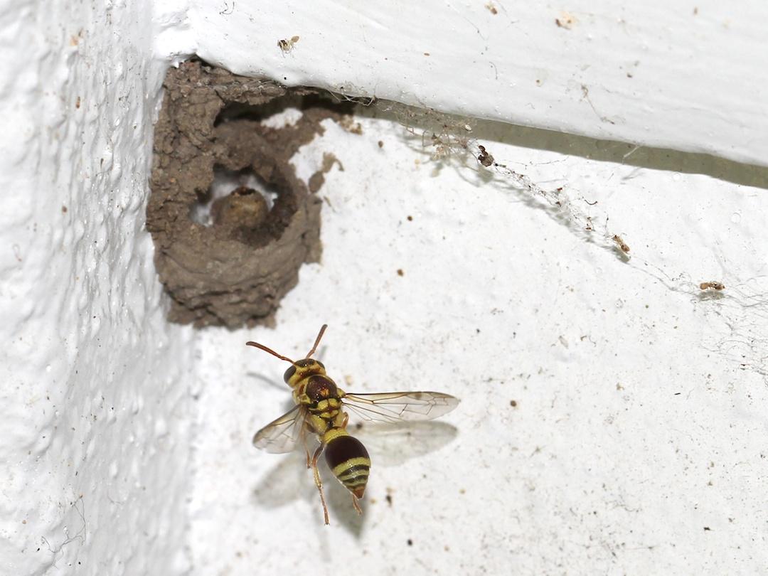 Wasp approaching mud nest