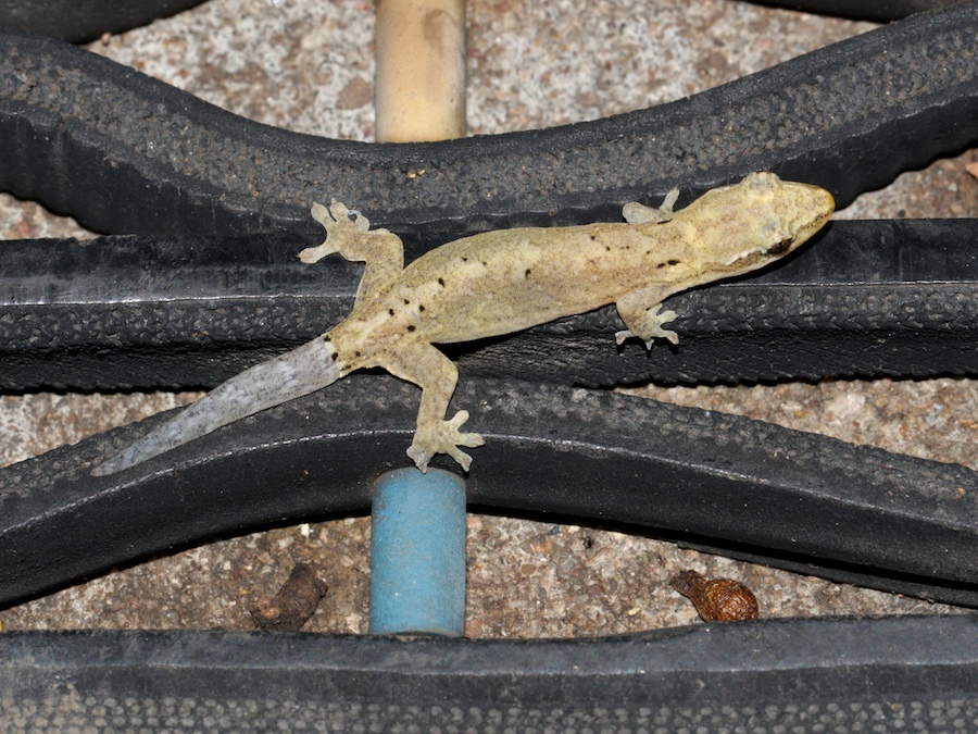 brown gecko with grey tail