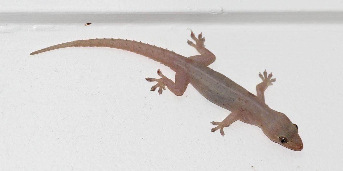 pinkish gecko on wall