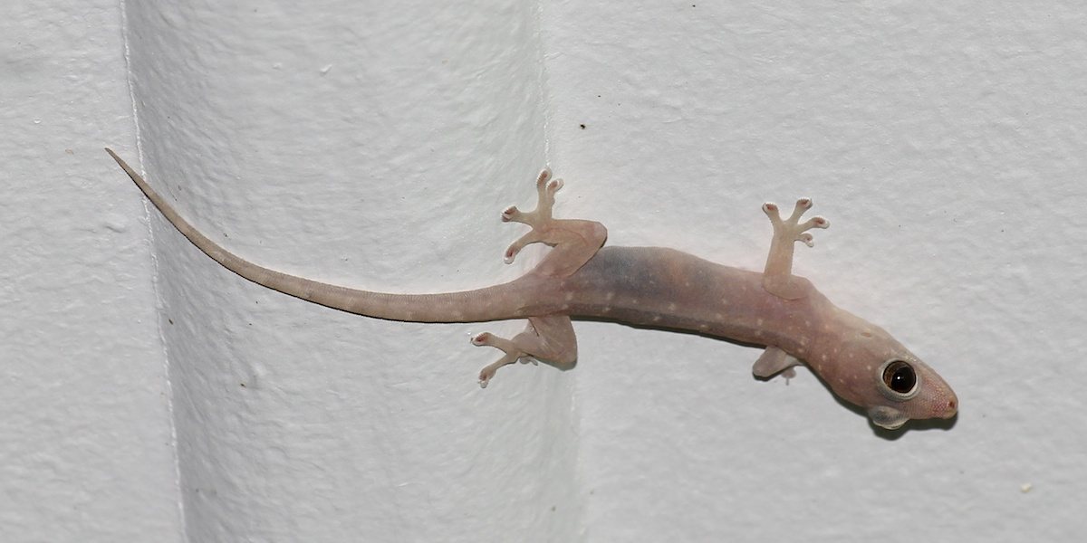 pinkish native gecko on ceiling