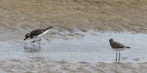 two small waders in shallow water