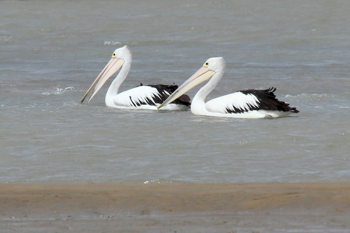 Two pelicans swimming together