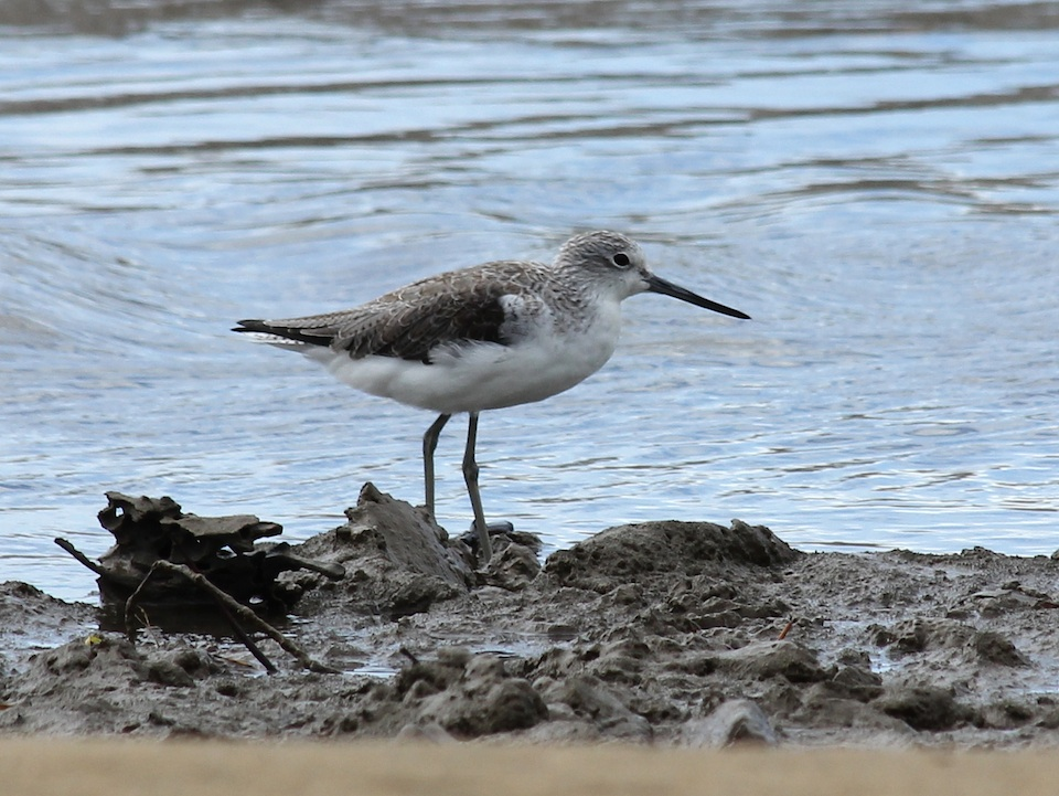 mottled grey wader