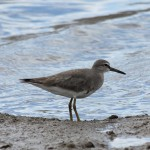 small grey wading bird