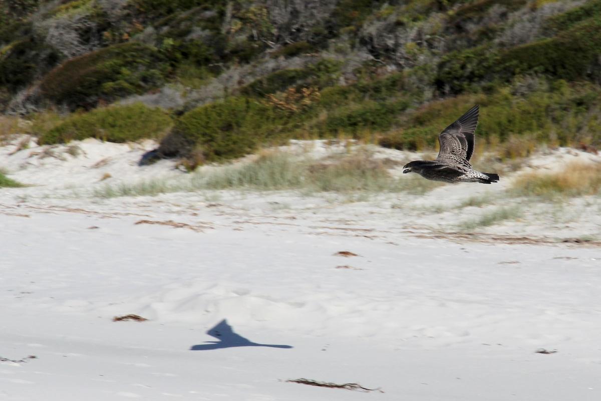 brown gull flying over beach